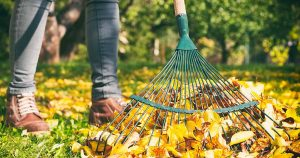 Gardener woman raking up autumn leaves in garden